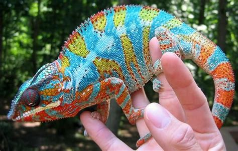 Chameleons vary greatly in size and body structure, with