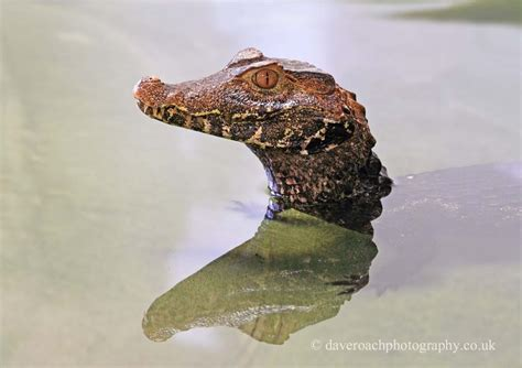 Nature Photography by Dave Roach: Dwarf Caiman, Cuvier's