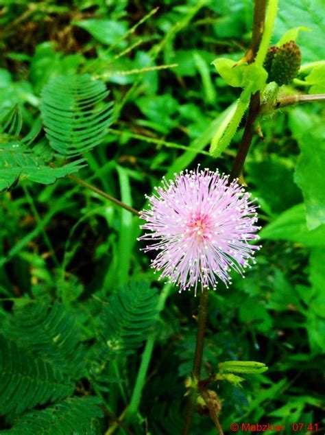 Mimosa pudica - mimosa pudica (from latin: pudica shy