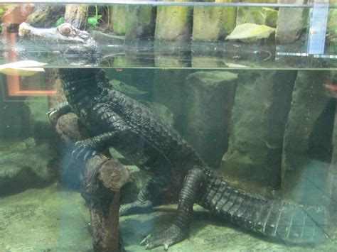 Cuvier's Dwarf Caiman Facts and Pictures