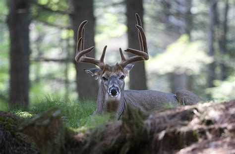 White-Tailed Deer Facts: Animals of North America