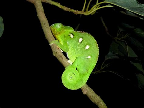 the adventures of US: Wild Oustalet's Chameleons in South